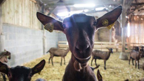 Le bonheur est dans la chèvre